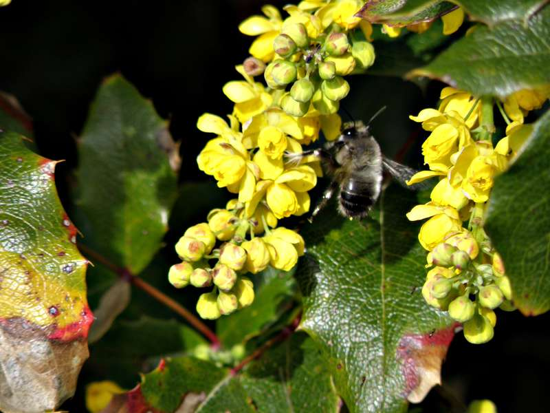 MINI APR...POD...16 Frantic...Bumblebee/Oregon Grape Holly