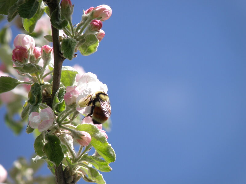 MAY 2020 ~ Mini #6 Pink ~ Apple blossoms / Tri-colored bumblebee