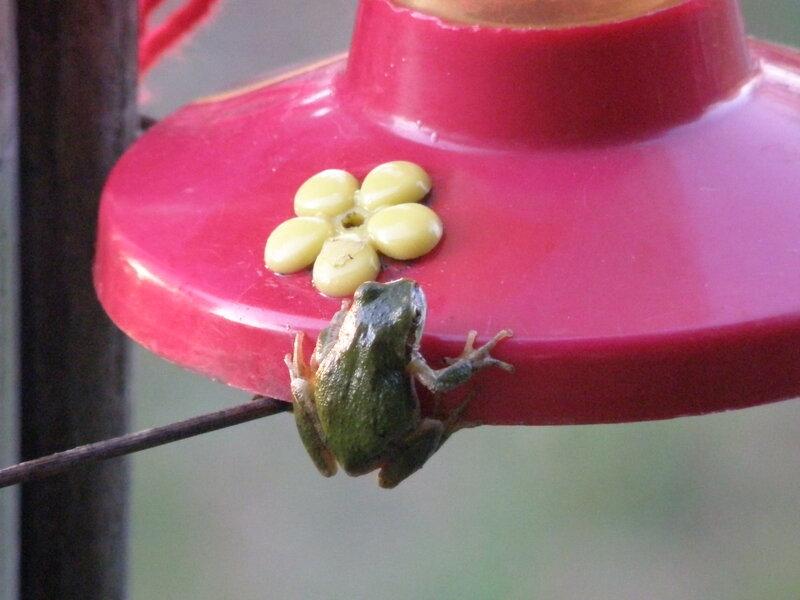 MAY 2020 ~ MINI #10 Small ~ Pacific treefrog