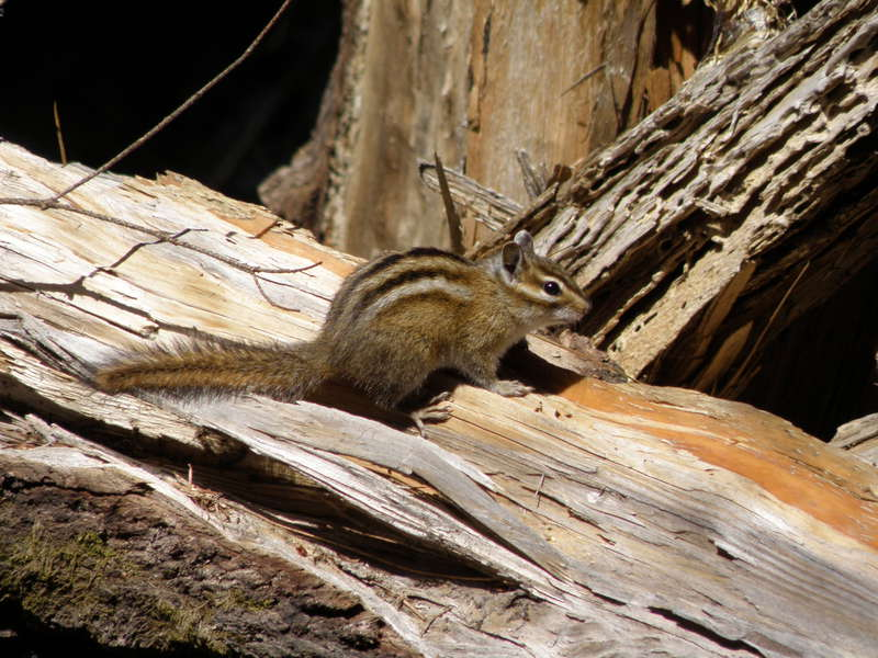 MINI MAY...POD...6 Could...Least Chipmunk