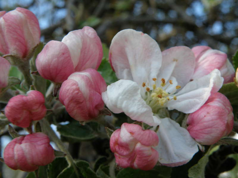 Apple blossoms...5-11-10