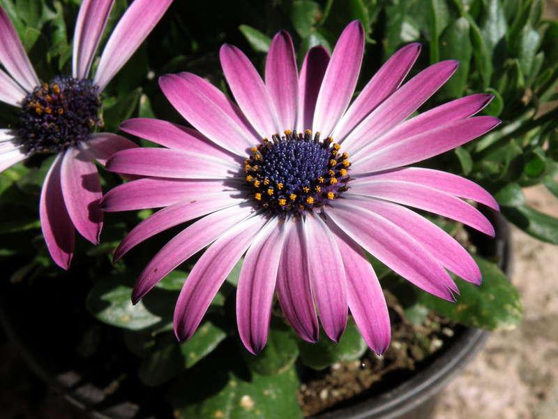 POD...MAY #13/15...African Daisy