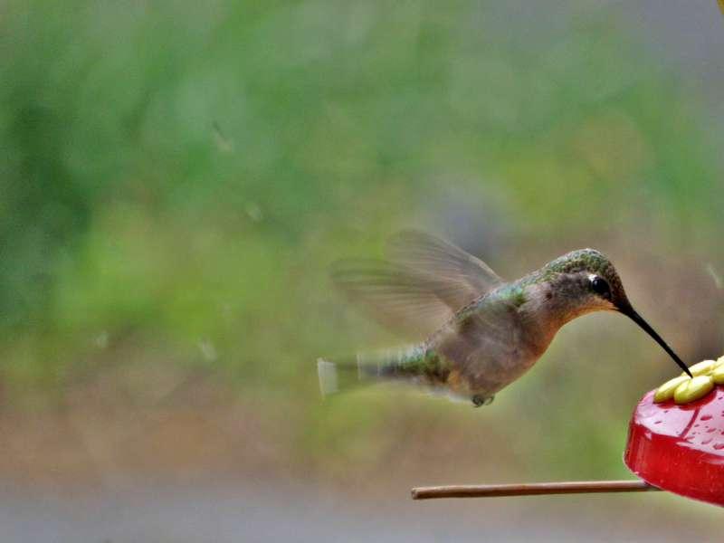 Hummingbird #2...5-27-10...Black-chinned female