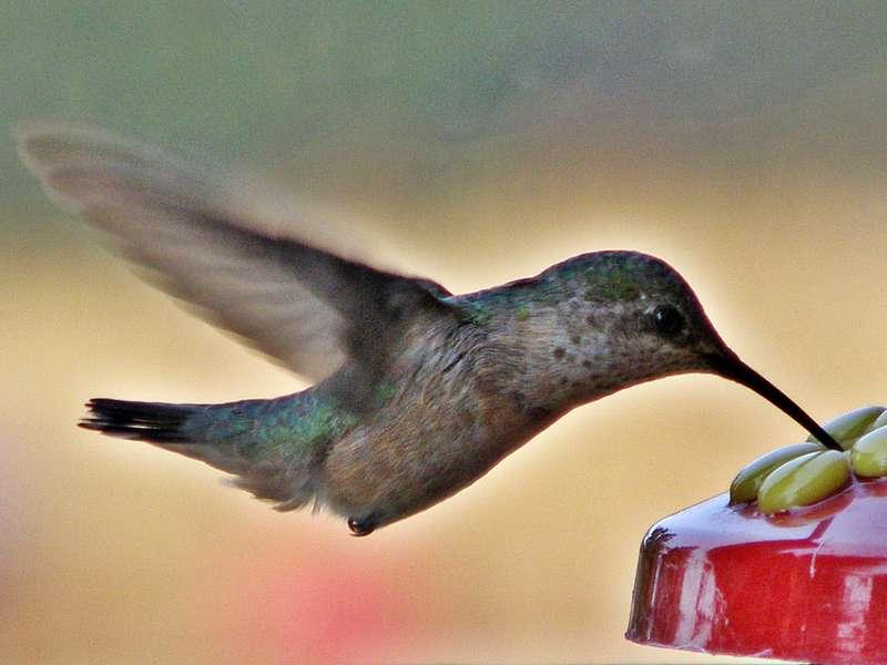POD...AUG #1/15...Hummingbird