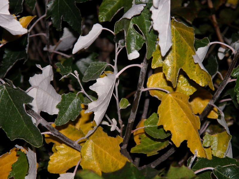 POD...OCT #9/15...Leaves