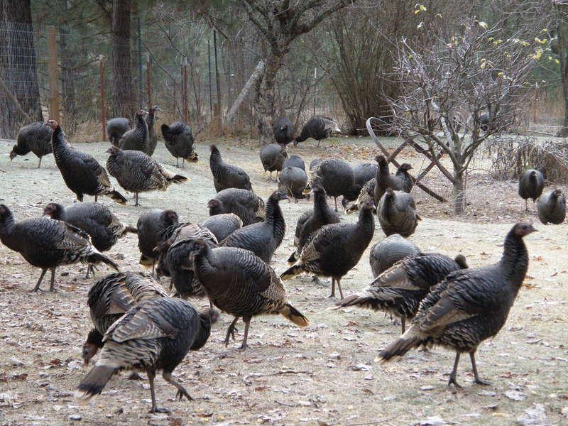 JFF...[MINI DEC...POD]...[11 nervous]...Wild Turkeys