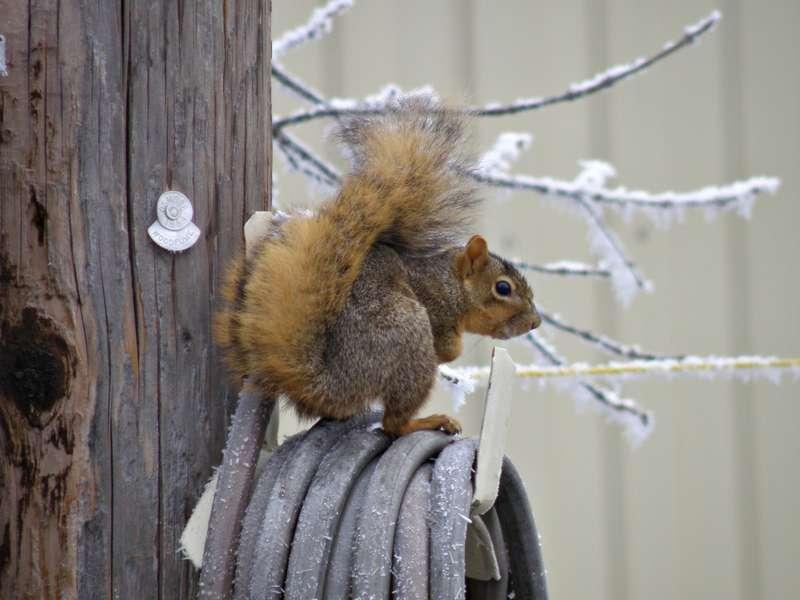 POD...DEC 3/15...Fox Squirrel