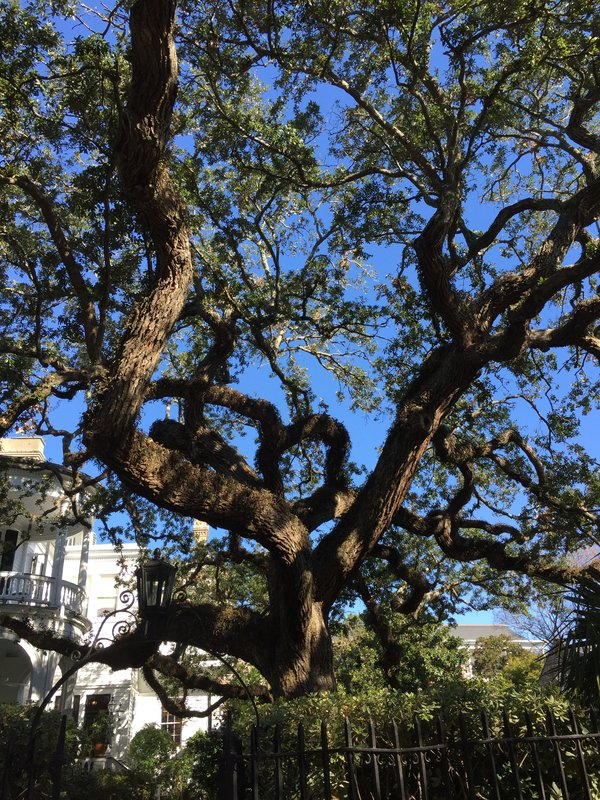 Charleston Tree