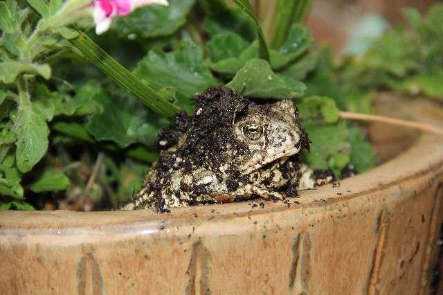 Frog Culprit