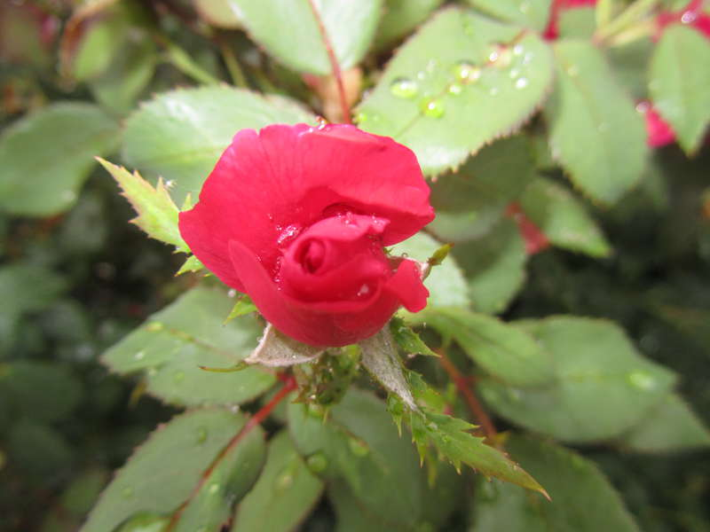 Rain on the Rosebud