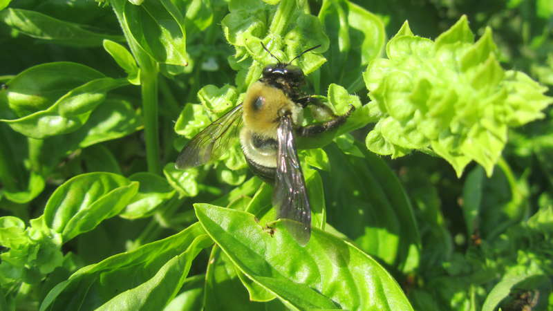 Bumblebee and basil
