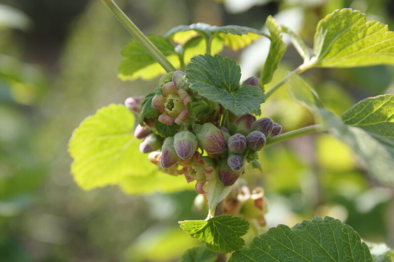 Blackcurrants in the making