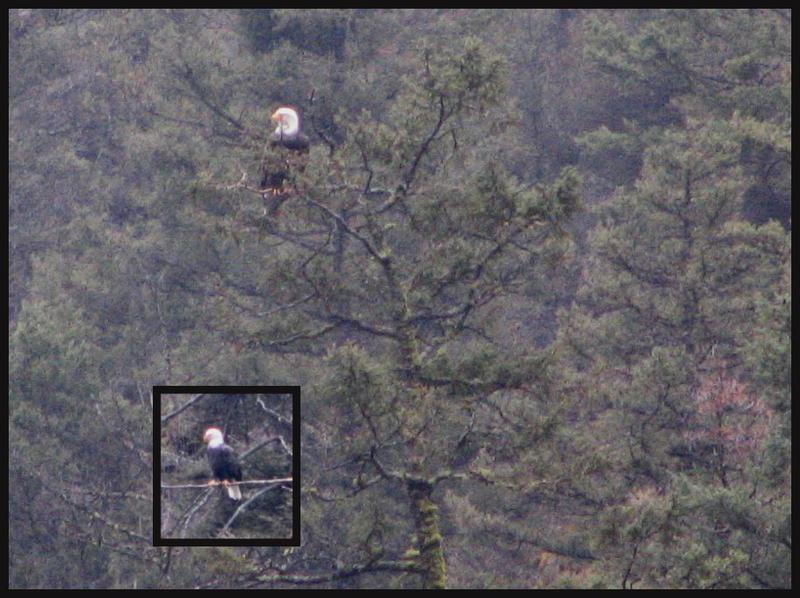 POD#4-Bald Eagle Mates