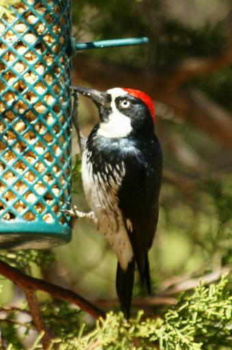 April POD 1 Male Acorn Woodpecker
