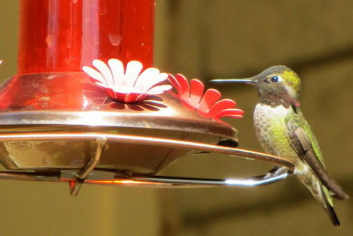 POD 12 Hummingbird