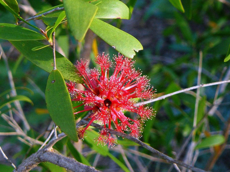 Agonis flexuosa - Aust. native plant