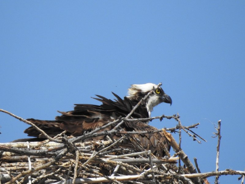 A young Bald Eagle in it's nest