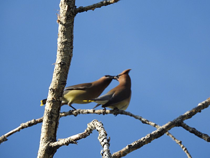 Kissing Cedar Waxwings