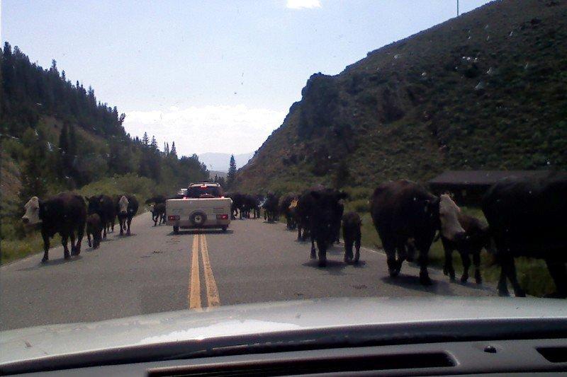 Cattle Jam