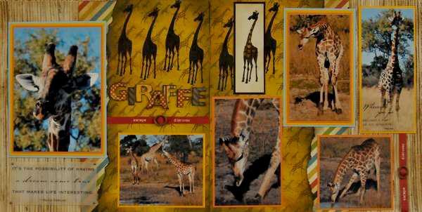 SAFARI - Botswana Giraffe