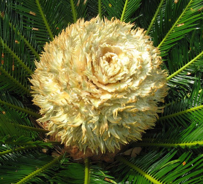 Female Sago Flower