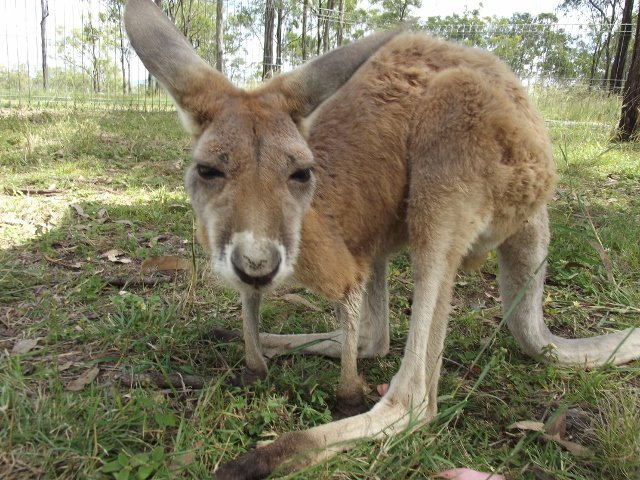 Red Kangaroo joey.
