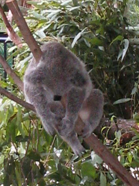 Sleepy Koala..