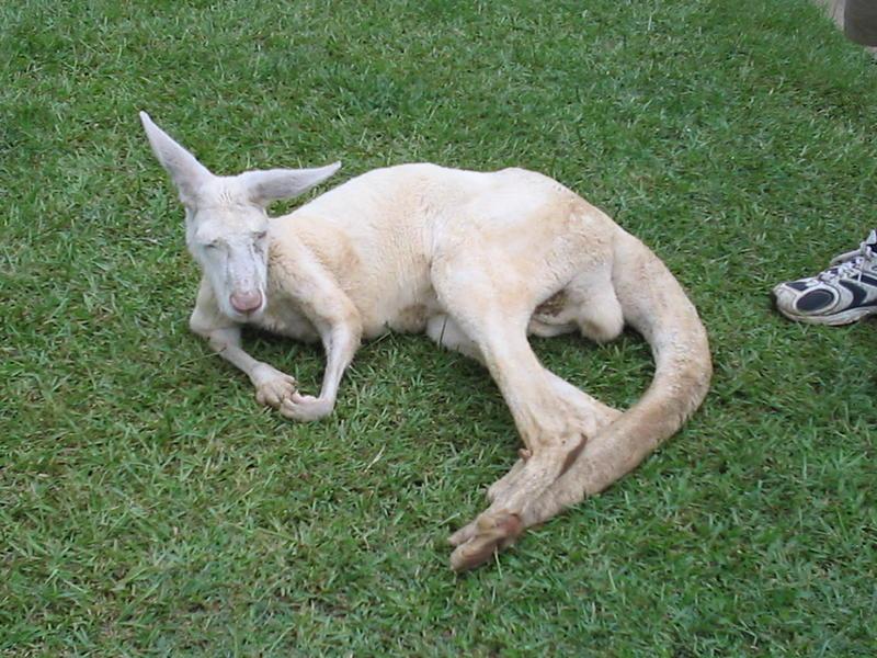 Albino Kangaroo.