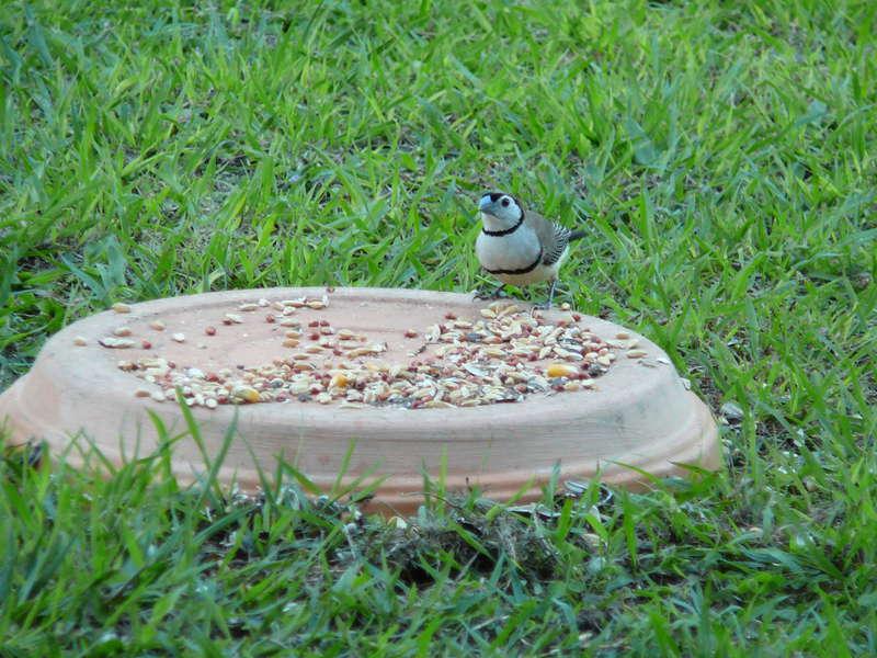 Little  Double Bar Finch