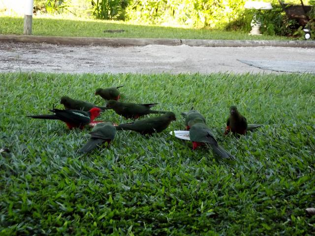 Young King Parrots