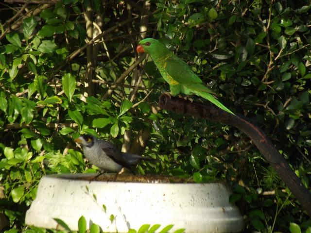 Close up of Greenie and a Banana bird