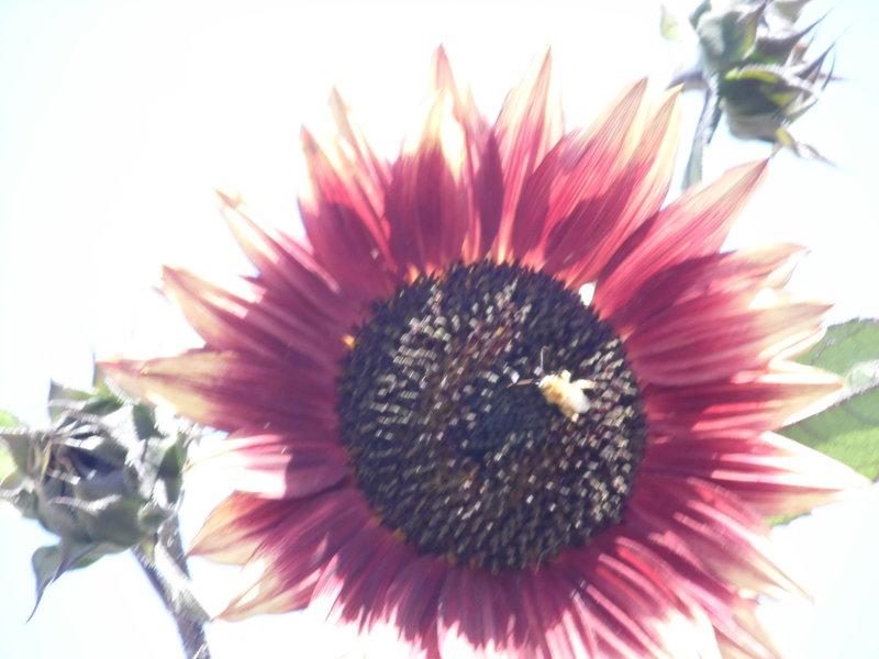 Sunflower Photo #2