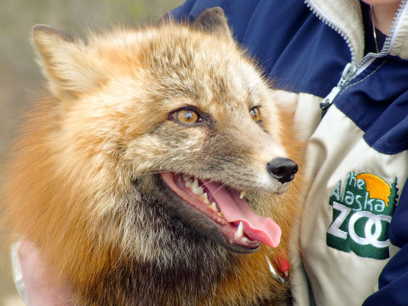 5/16 PoD - Red Fox