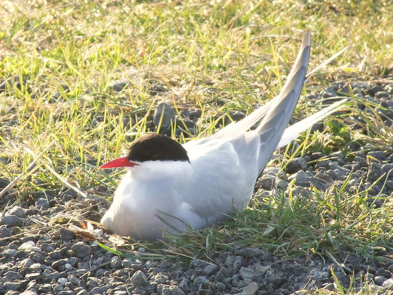 5/20 PoD - Arctic Tern