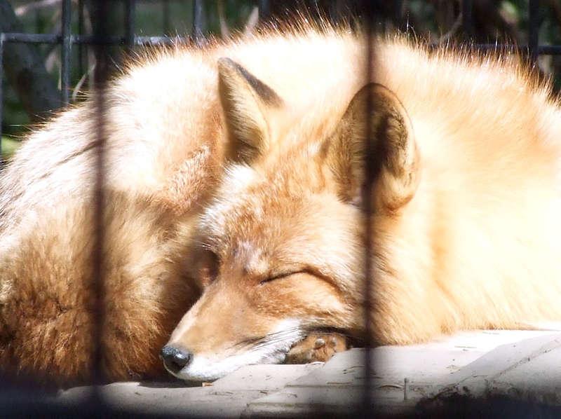 Mac the Fox