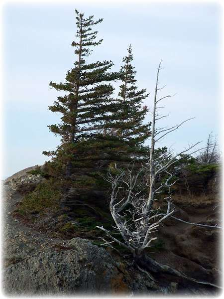 Nov 30 ~ Wind-Swept Trees at Beluga Point