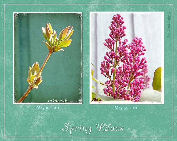 JFF ~ Spring Lilacs