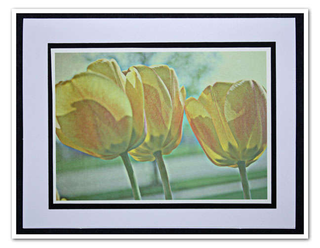Tulip Photo 3