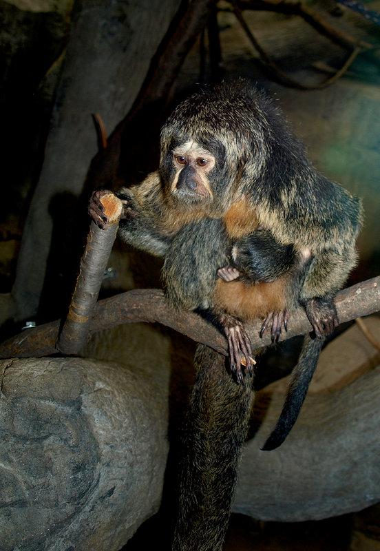 Funny Mama monkey