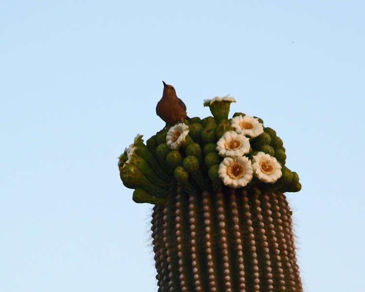 Gila Woodpecker on Suguaro Cactus