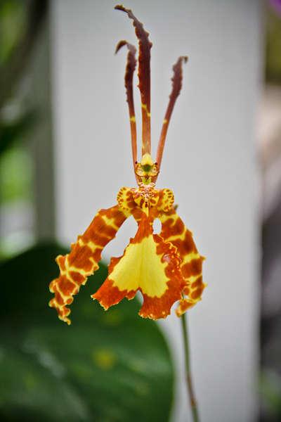 mini #2 O-Orchid