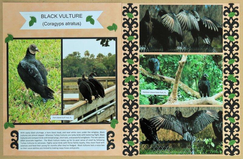 Black Vulture, FL