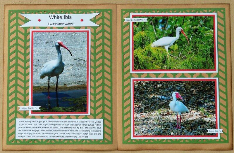 White Ibis (Bird Adventure Album)