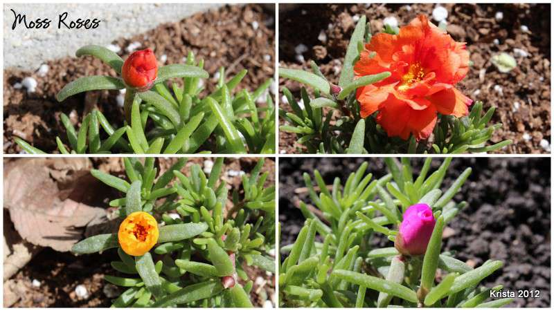 Mini #1 - M for Moss Roses