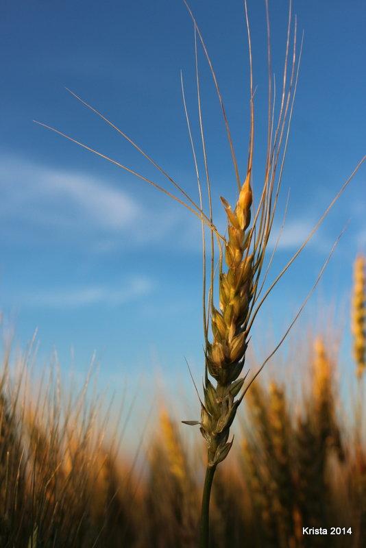 POD 3 - Wheat