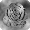 Crome_Rose