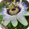 Passion Flower Scrapper