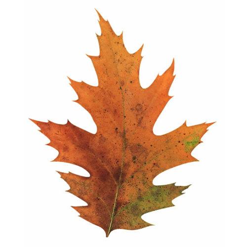Paper House Productions - Autumn Collection - Mini Die Cut Piece - Oak Leaf