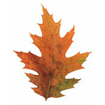 Paper House Productions - Autumn Collection - Mini Die Cut Piece - Oak Leaf