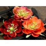 Prima - Primrosa Collection - Fabric Flower Embellishments - Sangria